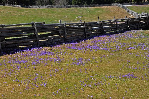 Cvetenja žafranov spomladi, Menina planina