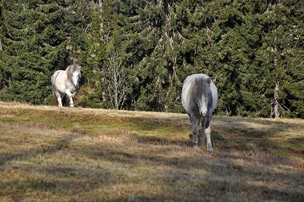 Konji na paši, Kope