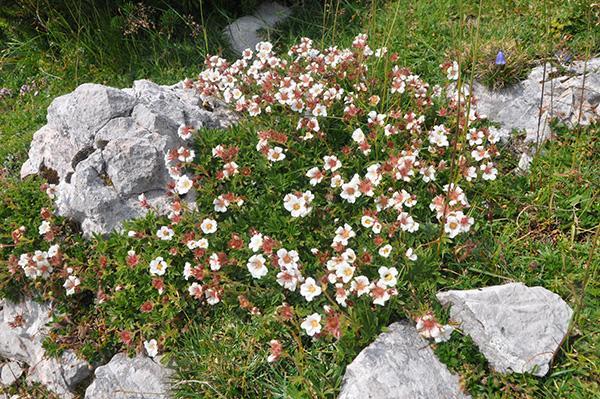 Gorske cvetlice