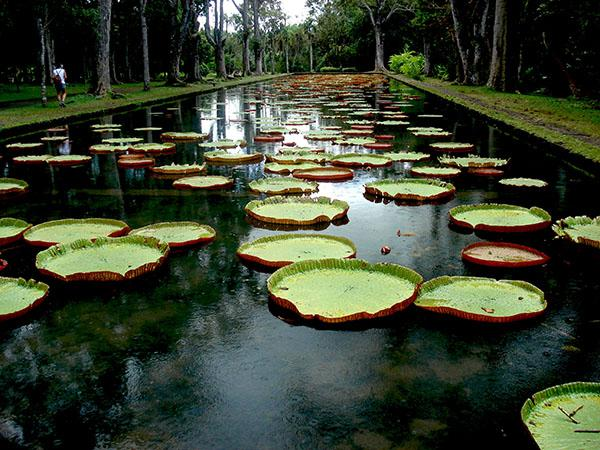 Pamplemousses Mauritius