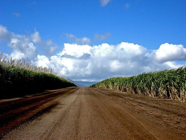 Sladkorni trs, Mauritius