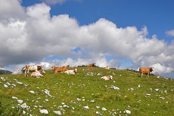 Govedo na travnikih nad Blejsko kočo