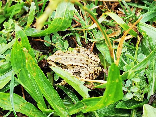 Žaba ob Cerkniškem jezeru
