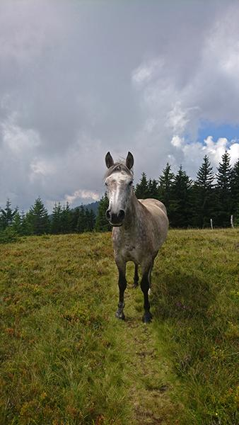 Konj na paši, Krnes