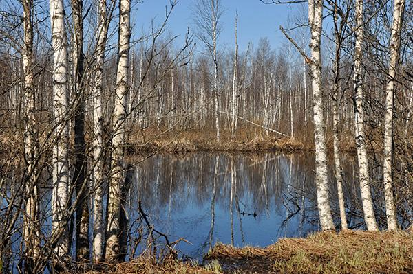 Gozd, Latvija