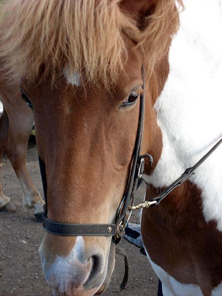 Islandski poni
