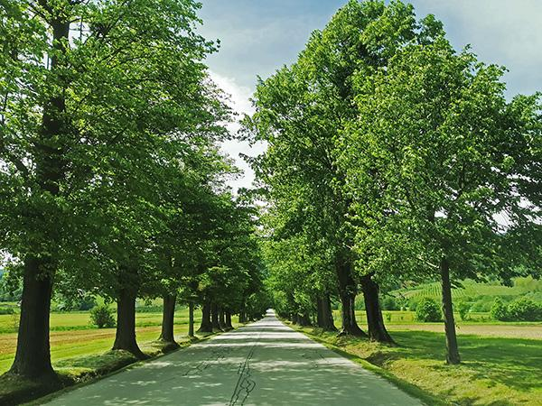 Lipov drevored ob poti proti gradu Hompoš